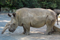 A New Hope For The Northern White Rhino?