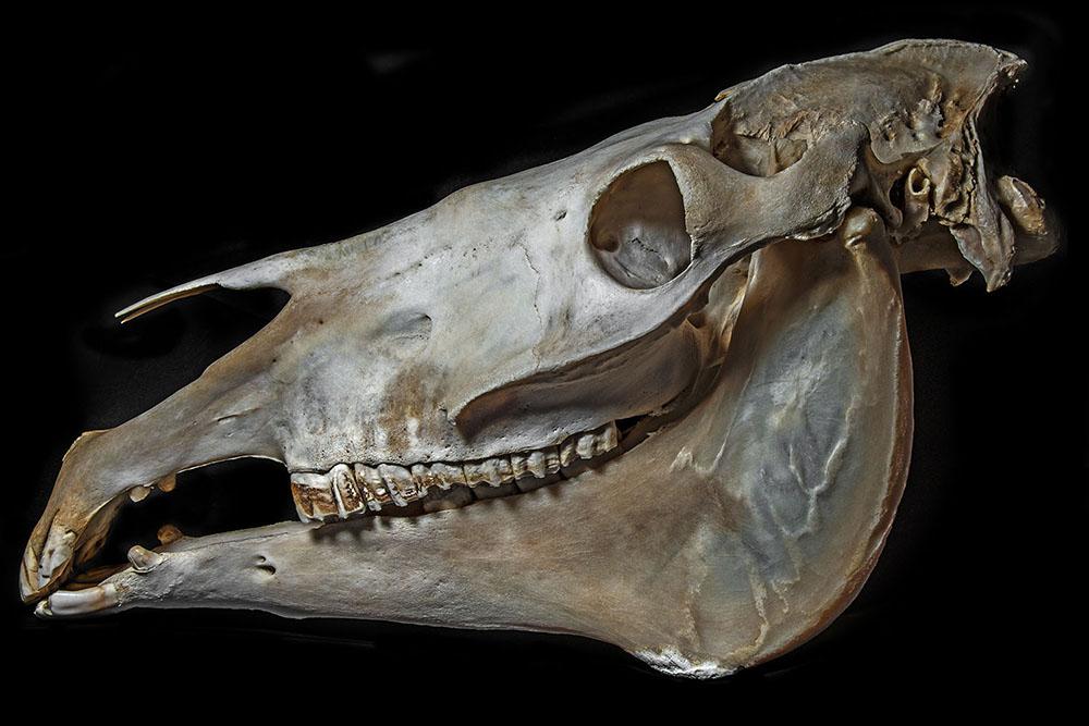 Kůň (Equus Caballus) (1)