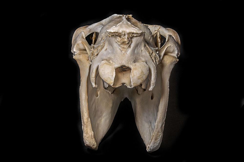 Kůň (Equus Caballus) (4)