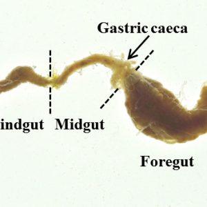 Periplaneta-gut