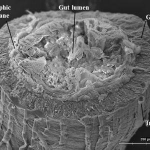 Periplaneta-midgut