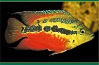 Diverzita A Evoluce Středoamerických Cichlid