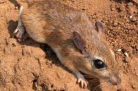 Evoluce Východoafrických Pískomilů Osvětluje Historii Zdejší Savany