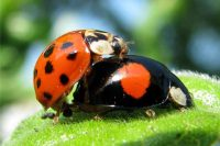 Unravelling The Ecology Of An Invasive Ladybird