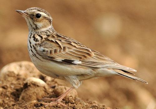 Terénní Ornitologie
