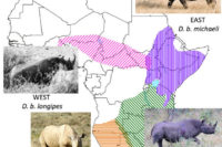 A Dramatic Decline In Genetic Diversity Of Black Rhinos