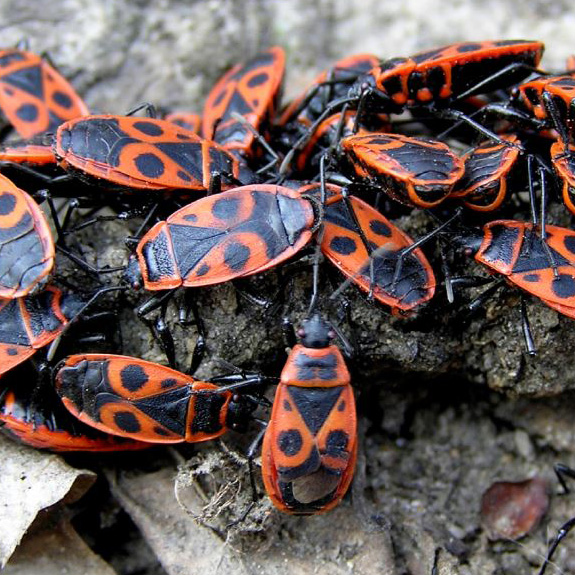Hmyzí Stresové Hormony