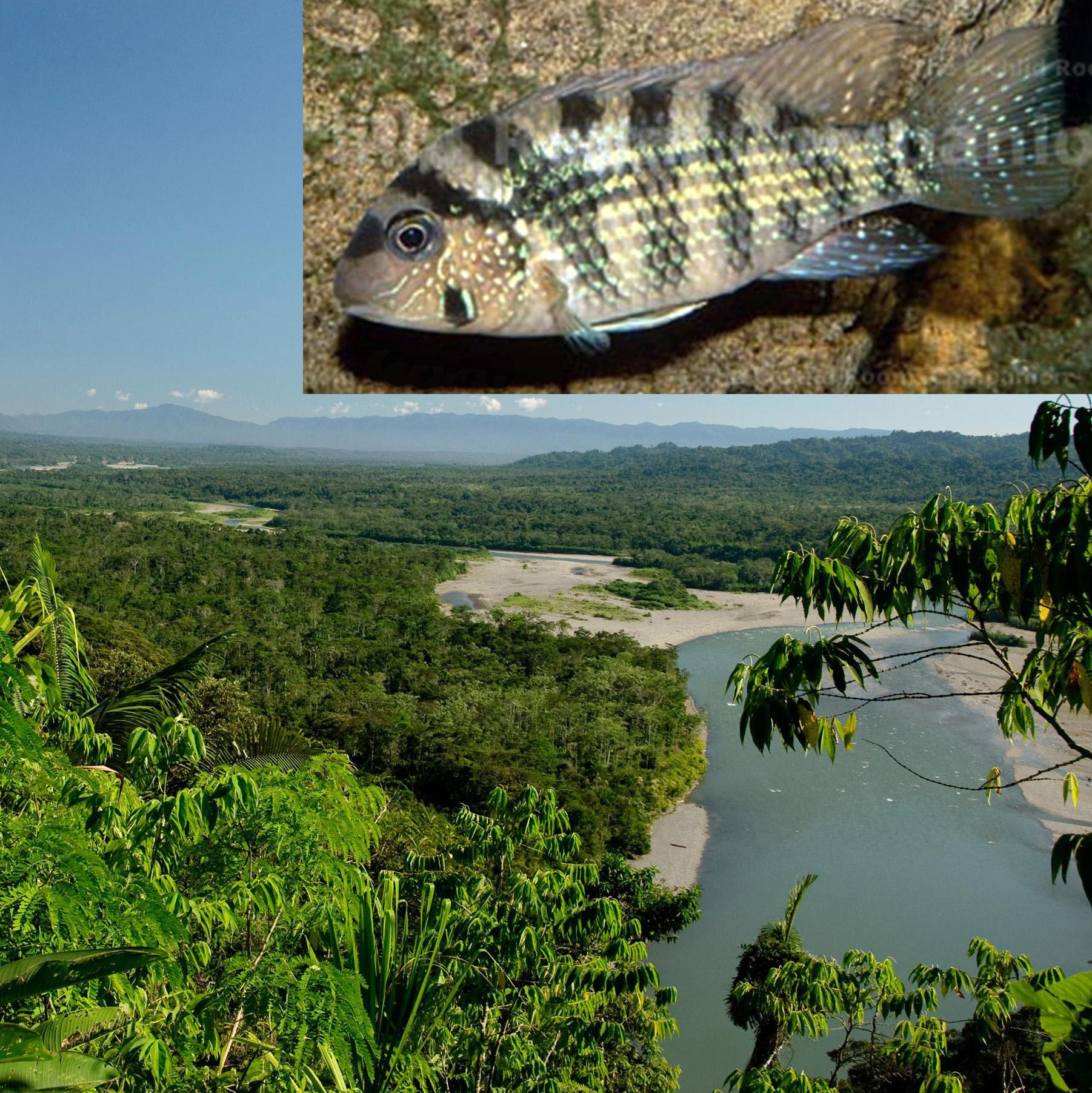 Studium Diverzity A Evoluce Ryb Západní Amazonie (Peru, Ekvádor, Kolumbie, Bolívie)