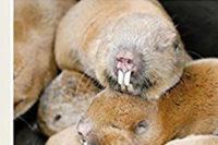 Mole Rats – Cryptomys And Fukomys