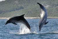 Možnost Podílet Se Na Výzkumu Delfínů Skákavých