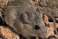 Jak Klima A Geografické Bariéry Formovaly Areál Africké Krysy Aethomys Chrysophilus?