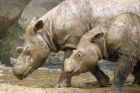 Ex Situ Sumatran Rhinoceros Conservation And The Agony Of Choice