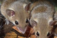 Evoluce A Fylogeneze Myší Skupiny Mus Triton