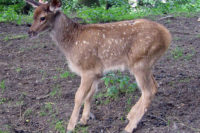 Female-perpetrated Infanticide In Captive White-lipped Deer