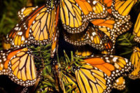 Department Of Genetics Seminar: The Longest Butterfly Migration