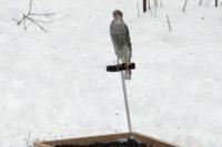 Jak ťuhýci Obecní Rozpoznávají Predátora U Hnízda
