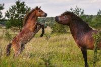 Vztah Hřebce A Hříbat Ve Stádu Divokých Koní